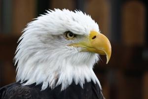 bald-eagle-150773748643A
